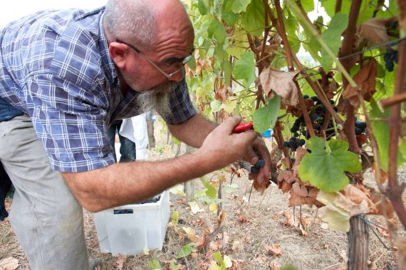 Douro Weinernte per Hand