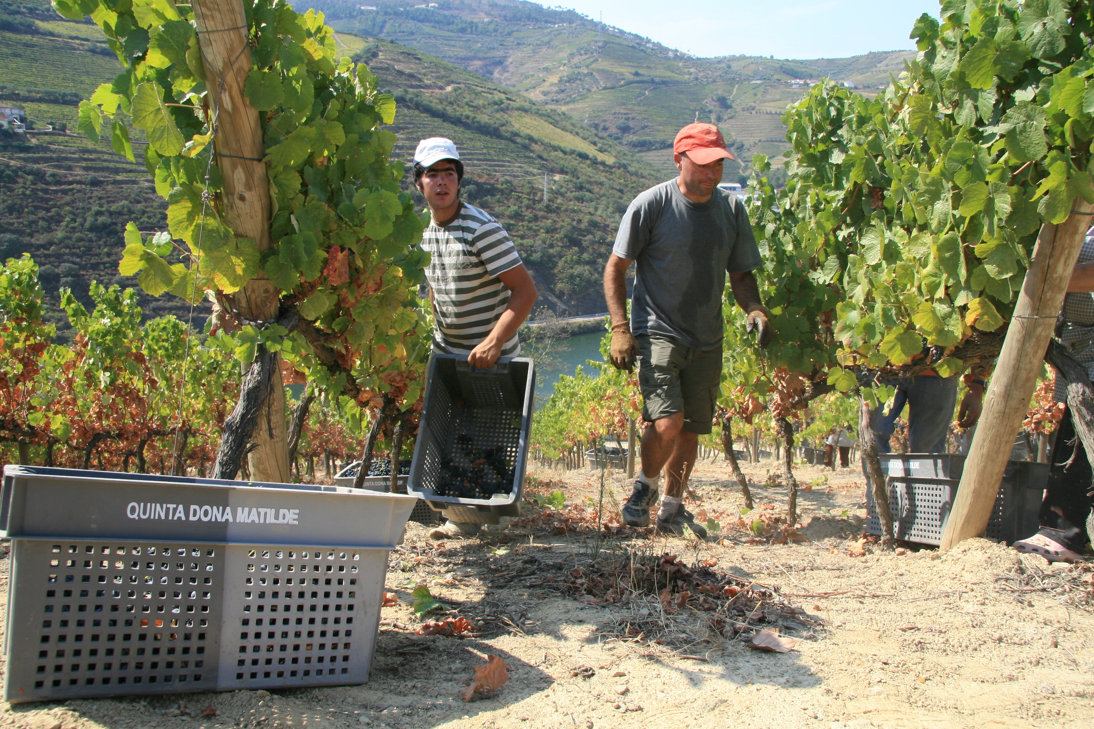 Die Weinernte im Douro-Tal erfolgt von Hand an den steilen Hängen der Weinberge