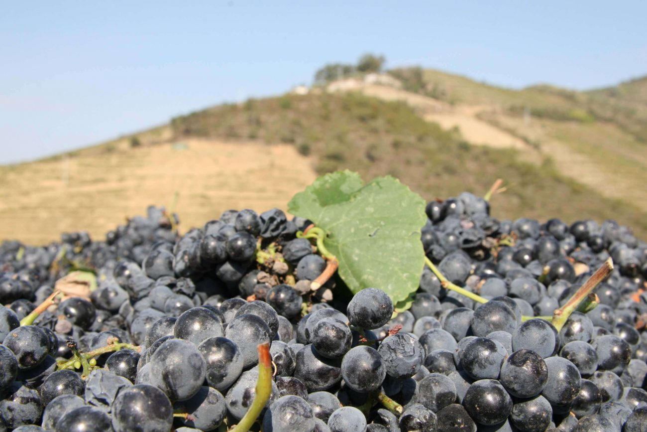 Douro Weinernte steile Hänge