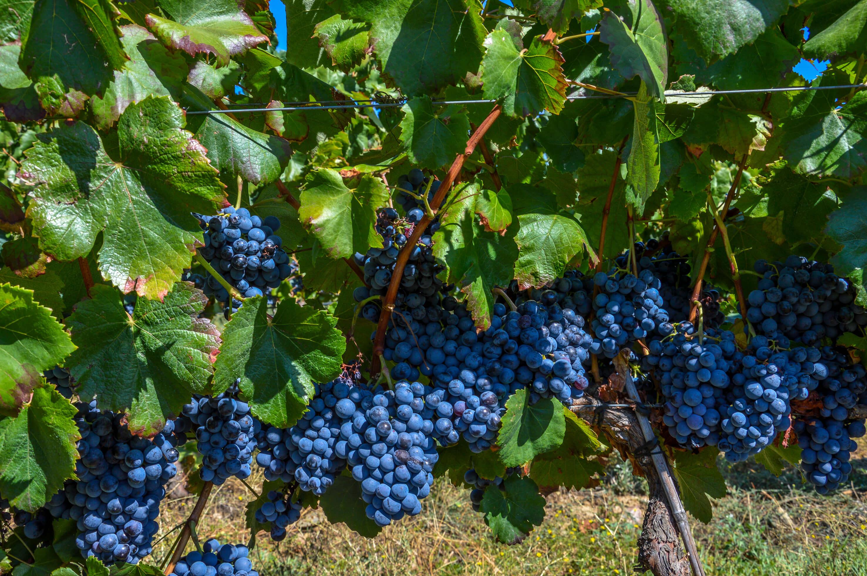 Douro Weinregion autochthone Rebsorte Alicante Bouschet