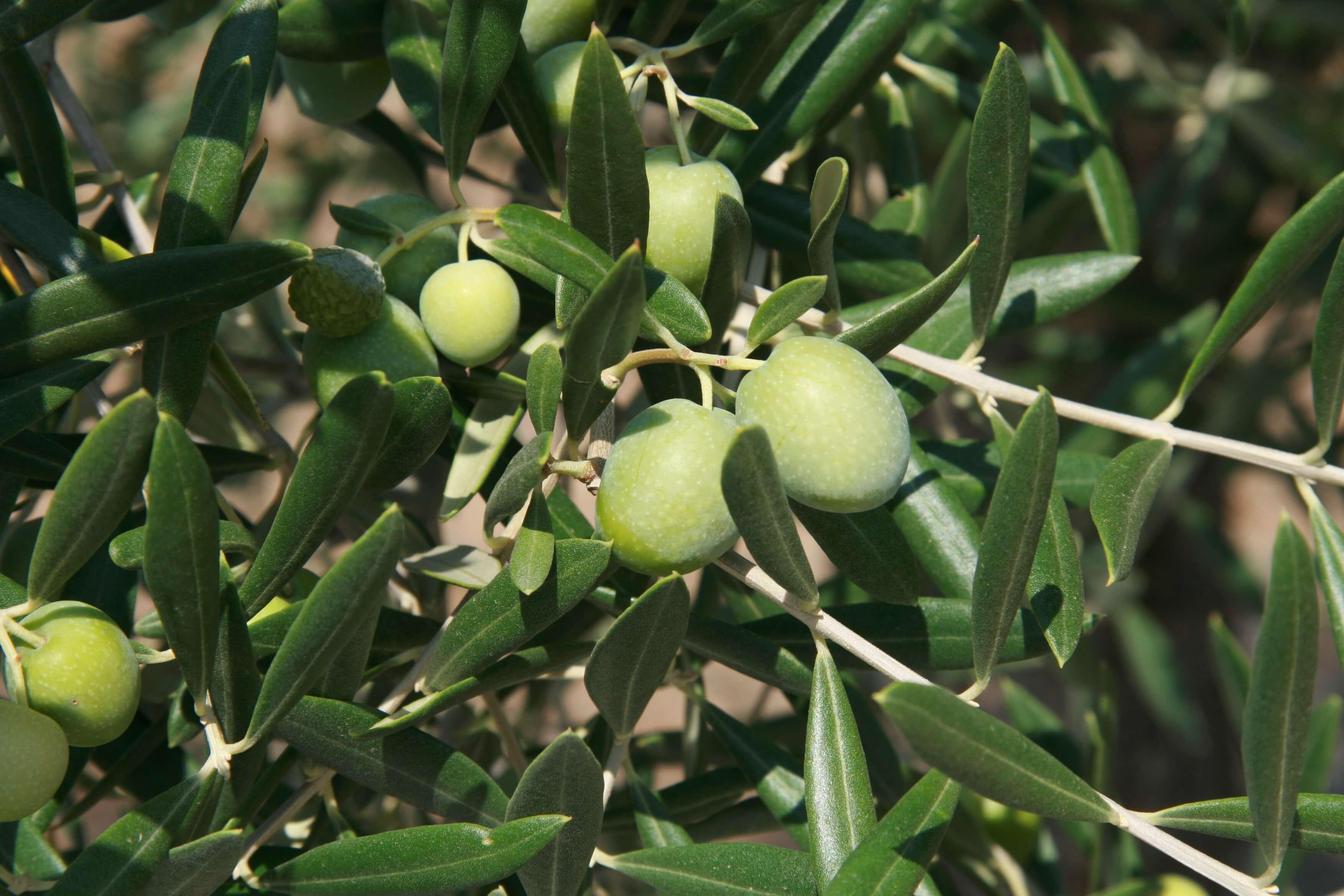Douro Weinregion Oliven Portugal Olivenöl