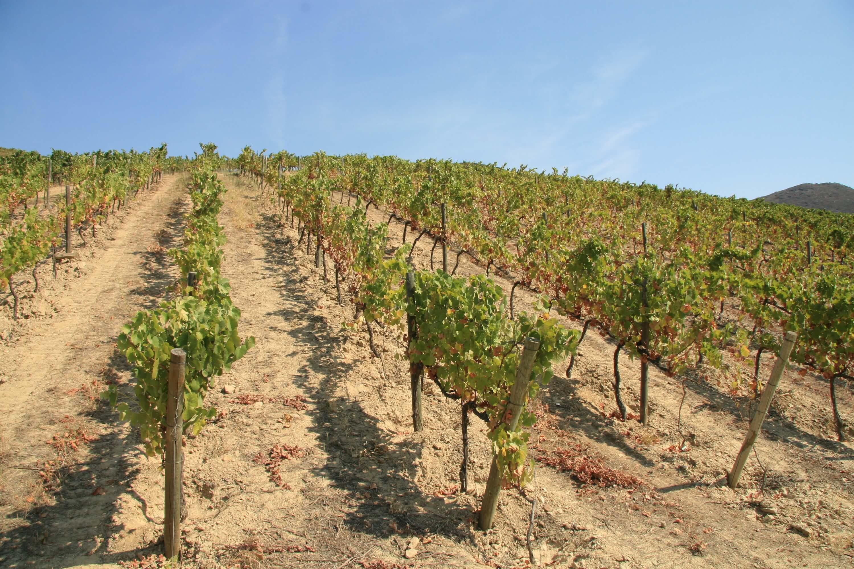 Portugal Douro Weinberge steile Weinhänge Weinlese per Hand