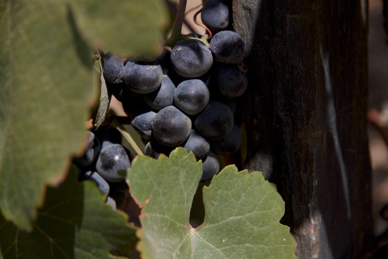 Douro Weingut Weinernte Trauben Rebstock